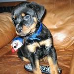 Layla-Behr Puppy 2 months