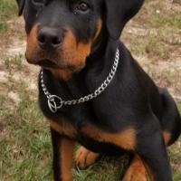 Koda-as-a-puppy