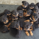 monster-champy-puppies-7weeks