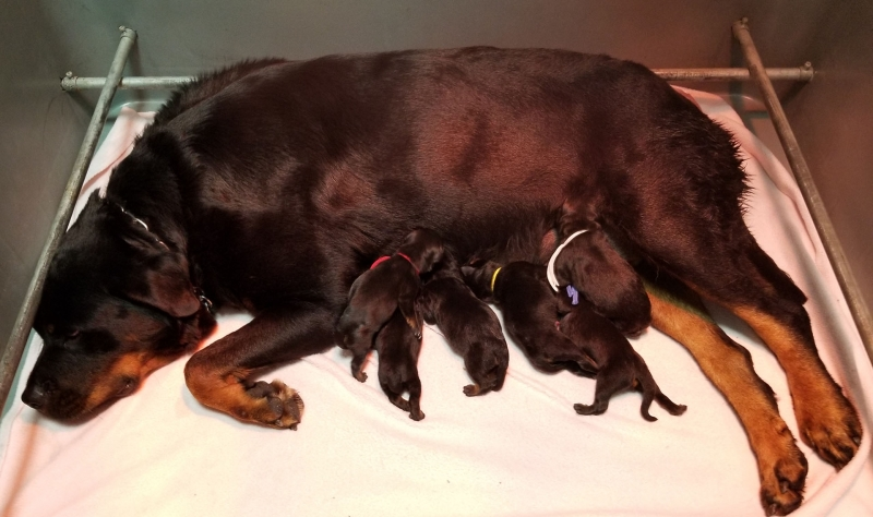 Rottweiler Puppies For Sale Von Evman Rottweilers