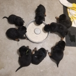 litters-walli-mad-max-050819-puppies-learning-to-eat