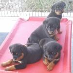 xana-ximo-puppies-7weeks-2