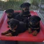 xana-ximo-puppies-7weeks