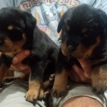 xara-varus-male-puppies-3weeks