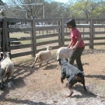 Queenie_herding_sheep_02_c_300