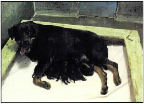 Puppy Basics - Von Evman Rottweilers